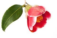 Λουλούδι της καμέλιας στοκ εικόνες