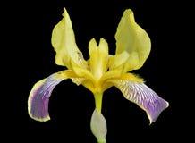Λουλούδι της καλλιεργημένης ίριδας 11 Στοκ φωτογραφίες με δικαίωμα ελεύθερης χρήσης