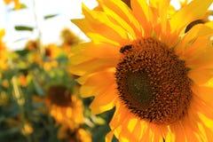 Λουλούδι της κινηματογράφησης σε πρώτο πλάνο ηλίανθων με μια μέλισσα Στοκ φωτογραφίες με δικαίωμα ελεύθερης χρήσης