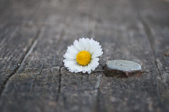 Λουλούδι της Μαργαρίτα, πάγκος, βίδα Στοκ φωτογραφία με δικαίωμα ελεύθερης χρήσης