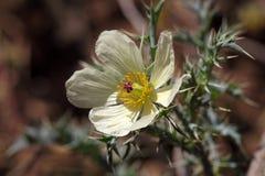Λουλούδι της μεξικάνικης παπαρούνας Στοκ φωτογραφία με δικαίωμα ελεύθερης χρήσης