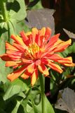 Λουλούδι της Νίκαιας σε έναν κήπο Στοκ εικόνα με δικαίωμα ελεύθερης χρήσης