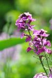 Λουλούδι της Νίκαιας στο πεδίο Στοκ Φωτογραφία