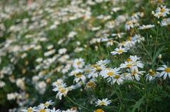 Λουλούδι της Νίκαιας Στοκ Εικόνες