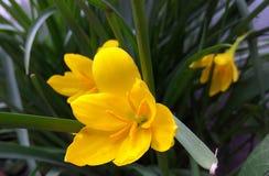 Λουλούδι της Νίκαιας Στοκ εικόνες με δικαίωμα ελεύθερης χρήσης