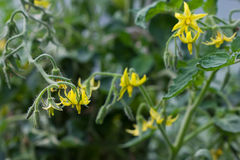 Λουλούδι της ντομάτας στο θερμοκήπιο Στοκ Φωτογραφίες