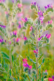 Λουλούδι της οχιάς Judaean bugloss Στοκ Φωτογραφία