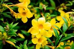 Λουλούδι της Ταϊλάνδης Στοκ εικόνες με δικαίωμα ελεύθερης χρήσης