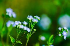 Λουλούδι της χλόης cornfield Στοκ Φωτογραφίες