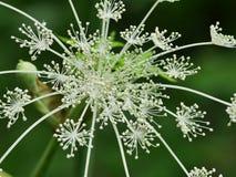 Λουλούδι της Angelica Στοκ φωτογραφία με δικαίωμα ελεύθερης χρήσης