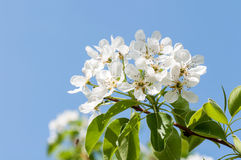 Λουλούδι της Apple ενάντια στο μπλε ουρανό Στοκ εικόνες με δικαίωμα ελεύθερης χρήσης