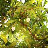 Λουλούδι της Apple ελεφάντων Στοκ φωτογραφίες με δικαίωμα ελεύθερης χρήσης