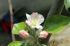 Λουλούδι της Apple με τα stamens Στοκ Εικόνες