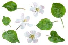 Λουλούδι της Apple με τη συλλογή φύλλων Στοκ φωτογραφία με δικαίωμα ελεύθερης χρήσης