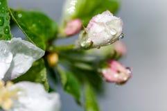 Λουλούδι της Apple με τις πτώσεις νερού Στοκ Φωτογραφίες