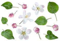 Λουλούδι της Apple με το σύνολο φύλλων Στοκ εικόνα με δικαίωμα ελεύθερης χρήσης