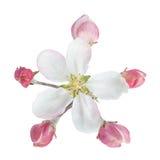Λουλούδι της Apple με το φύλλο Στοκ Φωτογραφίες