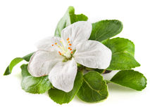 Λουλούδι της Apple που απομονώνεται στο λευκό Με το ψαλίδισμα του μονοπατιού Στοκ φωτογραφίες με δικαίωμα ελεύθερης χρήσης