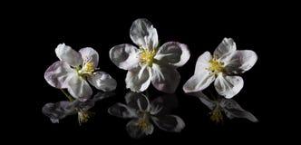 Λουλούδι της Apple σε ένα μαύρο υπόβαθρο Στοκ Εικόνες