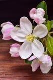 Λουλούδι της Apple σε ένα ξύλινο υπόβαθρο Στοκ φωτογραφία με δικαίωμα ελεύθερης χρήσης