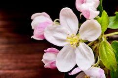 Λουλούδι της Apple σε ένα ξύλινο υπόβαθρο Στοκ εικόνα με δικαίωμα ελεύθερης χρήσης