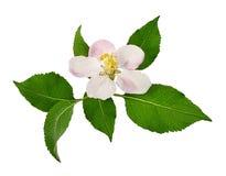 Λουλούδι της Apple στο λευκό Στοκ φωτογραφίες με δικαίωμα ελεύθερης χρήσης