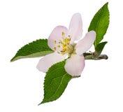 Λουλούδι της Apple στο λευκό Στοκ εικόνα με δικαίωμα ελεύθερης χρήσης
