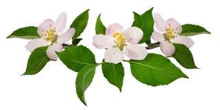Λουλούδι της Apple στο λευκό Στοκ Εικόνες