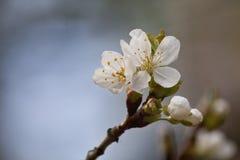 Λουλούδι της Apple στο θολωμένο υπόβαθρο Στοκ φωτογραφία με δικαίωμα ελεύθερης χρήσης