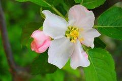 Λουλούδι της Apple την άνοιξη Στοκ φωτογραφία με δικαίωμα ελεύθερης χρήσης