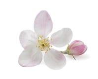 Λουλούδι της Apple Στοκ Εικόνες