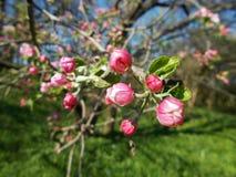Λουλούδι της Apple Στοκ Φωτογραφία