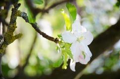 Λουλούδι της Apple Στοκ φωτογραφίες με δικαίωμα ελεύθερης χρήσης