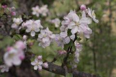 Λουλούδι της Apple Στοκ φωτογραφία με δικαίωμα ελεύθερης χρήσης