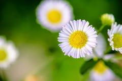 Λουλούδι της Daisy κινηματογραφήσεων σε πρώτο πλάνο Στοκ Εικόνες