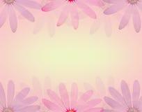 Λουλούδι της Daisy στο μαλακό γλυκό υπόβαθρο χρώματος και σύστασης ύφους θαμπάδων Στοκ Εικόνες