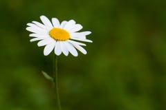 Λουλούδι της Daisy στο πράσινο θολωμένο υπόβαθρο στοκ εικόνες