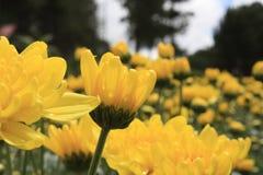 Λουλούδι της Daisy Στοκ Φωτογραφία