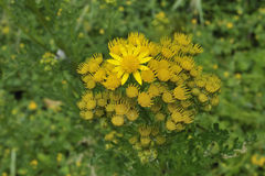 Λουλούδι της Daisy Στοκ Εικόνες