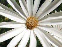 Λουλούδι της Daisy Στοκ Εικόνα