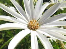Λουλούδι της Daisy Στοκ Φωτογραφίες