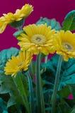 Λουλούδι της Daisy Gerbera στοκ φωτογραφίες