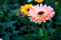 Λουλούδι της Daisy Gerbera Στοκ Φωτογραφία