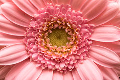 Λουλούδι της Daisy Gerbera Barbeton Στοκ Φωτογραφία