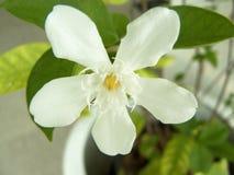 Λουλούδι της Inda ή αρκτικό χιόνι Στοκ εικόνα με δικαίωμα ελεύθερης χρήσης