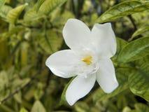 Λουλούδι της Inda ή αρκτικό χιόνι Στοκ εικόνες με δικαίωμα ελεύθερης χρήσης