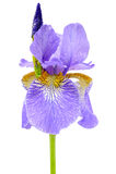 Λουλούδι της Iris με τις πτώσεις λεωφορείων και δροσιάς που απομονώνονται στο άσπρο υπόβαθρο Στοκ φωτογραφία με δικαίωμα ελεύθερης χρήσης