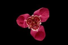Λουλούδι της Iris που απομονώνεται στο μαύρο υπόβαθρο Στοκ φωτογραφίες με δικαίωμα ελεύθερης χρήσης