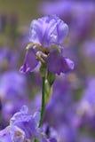 Λουλούδι της Iris Στοκ φωτογραφία με δικαίωμα ελεύθερης χρήσης