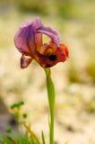 Λουλούδι της Iris Petrana Στοκ εικόνες με δικαίωμα ελεύθερης χρήσης